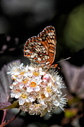 Checkerspot Framed Prints - Checkerspot Framed Print by Kathleen Bishop