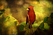 Red Crest Framed Prints - Cheery Red Cardinal  Framed Print by Lianne Schneider