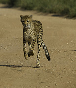 Cheetah Photo Originals - Cheetah 2 by Andrew Oliver