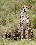 Preditor Photos - Cheetah  Acinonyx jubatus by Carol Gregory