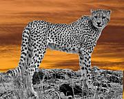 Cheetah At Dusk Print by Larry Linton