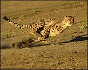 LeeAnn McLaneGoetz McLaneGoetzStudioLLCcom - Cheetah at full run