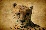Cheetah Hunting Framed Prints - Cheetah  Framed Print by Athena Mckinzie
