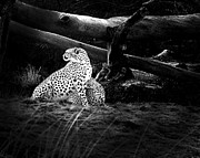 Cheetah Digital Art Metal Prints - Cheetah Metal Print by Camille Lopez