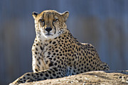 Carnivore Metal Prints - Cheetah Metal Print by Juli Scalzi