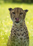 Toronto Fine Art Framed Prints - Cheetah Close-Up Framed Print by Phill  Doherty