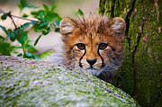Nick  Biemans - Cheetah cub behind a rock