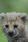 Cheetah Digital Art - Cheetah Cub  by Darren Wilkes