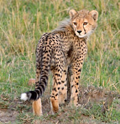 All - Cheetah Cub Looking Your Way by Tom Wurl