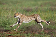Acinonyx Jubatus Photos - Cheetah Cub Running by Suzi Eszterhas
