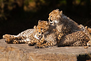 Nick  Biemans - Cheetah cubs close together