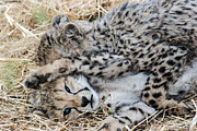 Cheetah Photo Originals - Cheetah Cubs by Marc Levine