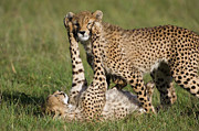 Acinonyx Jubatus Photos - Cheetah Cubs Playing by Suzi Eszterhas