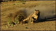 LeeAnn McLaneGoetz McLaneGoetzStudioLLCcom - Cheetah dust trail