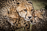 Concern Framed Prints - Cheetah Family Portrait Framed Print by Mike Gaudaur