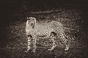 Travel - Tanzania - Cheetah Freezes Vintage by Darcy Michaelchuk