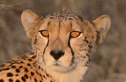 All - Cheetah Gaze by Tom Wurl