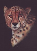 Cheetah Drawings Framed Prints - Cheetah Framed Print by Genevieve Desy