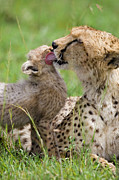 Acinonyx Jubatus Photos - Cheetah Grooming Her Cub by Suzi Eszterhas