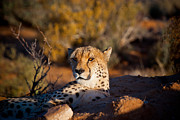 Yngve Alexandersson - Cheetah In Evening Sun
