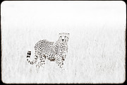 Cheetah In The Grass Print by Mike Gaudaur