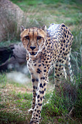Jacqui Martin - Cheetah