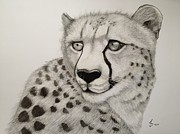 Cheetah Drawings Framed Prints - Cheetah Framed Print by Jess Stanley