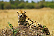 Game Pyrography Metal Prints - Cheetah Metal Print by Kongsak Sumano