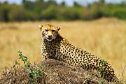 Cheetah Print by Kongsak Sumano