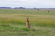Acinonyx Jubatus Photos - Cheetah Looking Across the Savanna by Suzi Eszterhas
