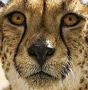 Cheetah Digital Art Metal Prints - Cheetah Metal Print by Lynn Andrews
