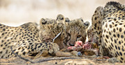 Acinonyx Jubatus Photos - Cheetah meal by Andy-Kim Moeller