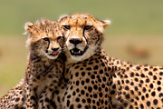 Cheetah Pyrography Framed Prints - Cheetah mother and cub in Masai Mara Framed Print by Maggy Meyer