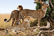 Cheetah Mother And Two Older Cubs In Masai Mara Print by Maggy Meyer