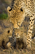 Acinonyx Jubatus Photos - Cheetah  Mother Nuzzles Cubs by Suzi Eszterhas