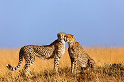 Cheetah Mother With Daughter Masai Mara Print by Maggy Meyer