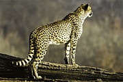 Cheetahs Digital Art Posters - Cheetah On The Lookout-One Poster by David Allen Pierson