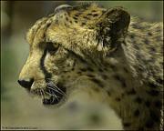 LeeAnn McLaneGoetz McLaneGoetzStudioLLCcom - Cheetah on the prowl