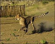 LeeAnn McLaneGoetz McLaneGoetzStudioLLCcom - Cheetah on the run