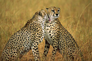Acinonyx Jubatus Photos - Cheetah Pair Grooming Kenya by Gerry Ellis