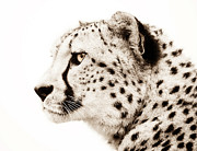 Wild Animal Digital Art Posters - Cheetah Poster by Photodream Art