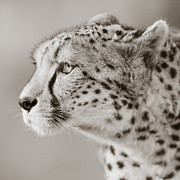 Graceful Animals Posters - Cheetah Portrait Poster by Regina Mueller