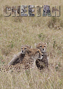 Cheetahs Digital Art Posters - Cheetah Poster 1 Poster by John Hebb