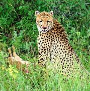 Cheetah Print by Ramona Johnston