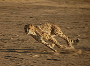 Cheetah Running Posters - Cheetah Run Poster by Tamyra Crossley