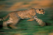 Cheetah Running Posters - Cheetah Running Africa Poster by Winfried Wisniewski