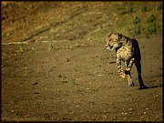 LeeAnn McLaneGoetz McLaneGoetzStudioLLCcom - Cheetah Running