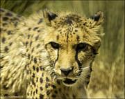 LeeAnn McLaneGoetz McLaneGoetzStudioLLCcom - Cheetah Salking its prey