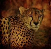 Wild Animal Digital Art Posters - Cheetah Poster by Sandy Keeton