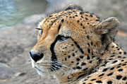 Huntress Photos - Cheetah side  by Teresa Blanton